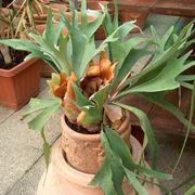 Pianta di Platycerium biforcatum