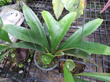 Pianta di Platycerium ellisii