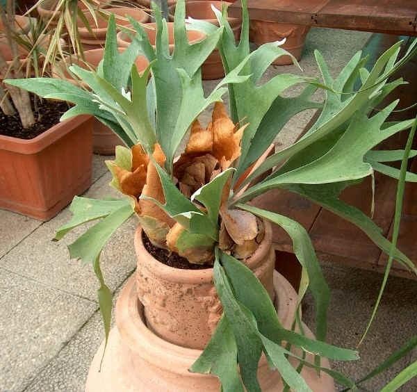 Corna di cervo piante appartamento la pianta corna di for Piante secche ornamentali