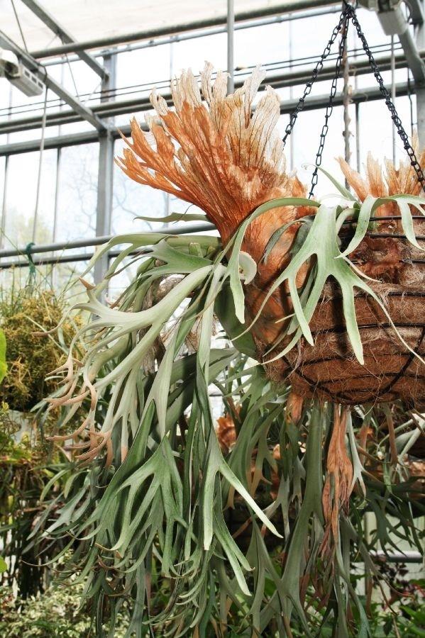 Corna di cervo piante appartamento la pianta corna di for Corna cervo