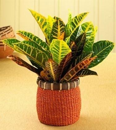 Un esempio di pianta di Croton da appartamento tenuta in un vaso