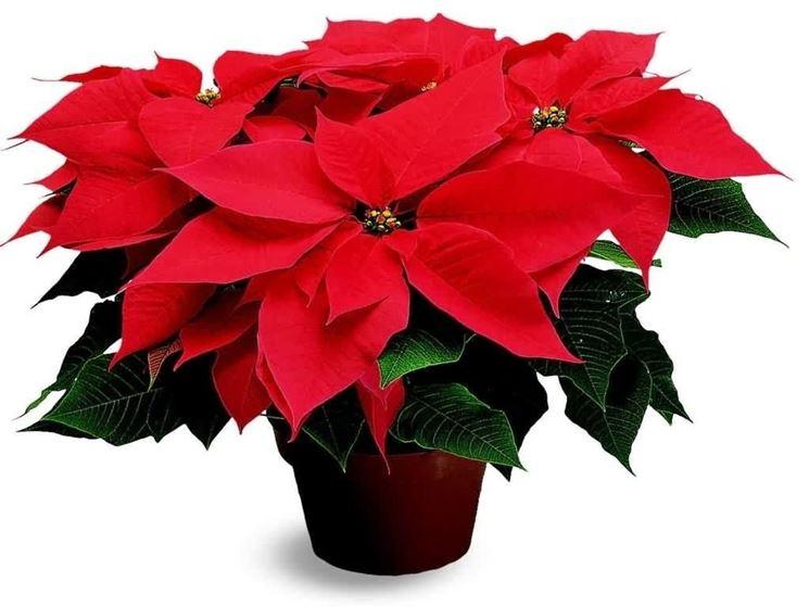 Stella Di Natale Cura E Manutenzione.Cura Stella Di Natale Piante Appartamento Curare La Stella Di Natale