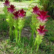 curcuma fiore significato