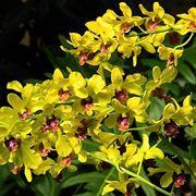 dendrobium giallo