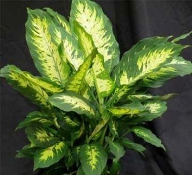 Un esempio di pianta di Dieffenbachia da appartamento tenuta in un vaso