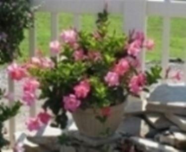 Un esempio di pianta di Dipladenia da appartamento tenuta in un vaso