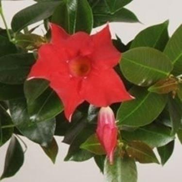 Un esempio di fiore che troviamo sulle piante di Dipladenia