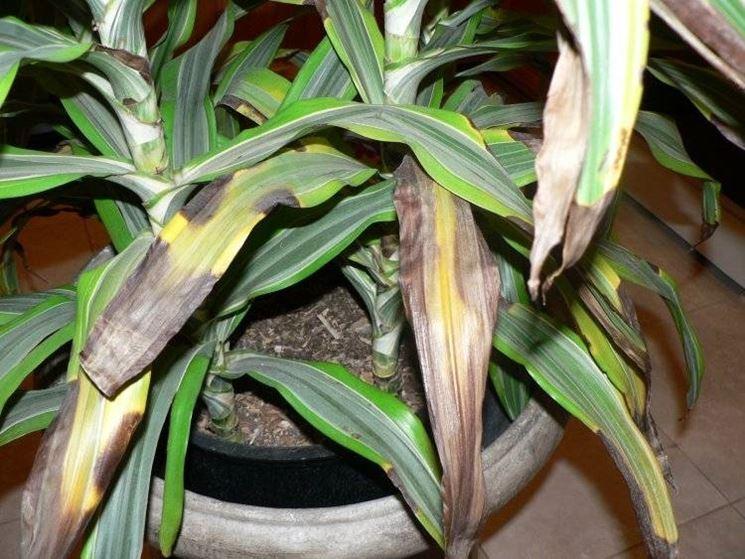 Dracaena piante appartamento Dracaena coltivazione