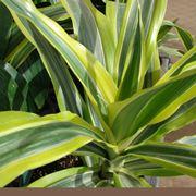 Un esempio di pianta di Dracena Marginata da appartamento tenuta in un vaso