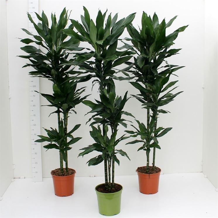Dracena marginata dracaena marginata piante for Piante da interno alte