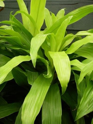 Dracena fragrans limelight.