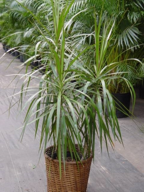 Dracena pianta - piante appartamento - Caratteristiche ...