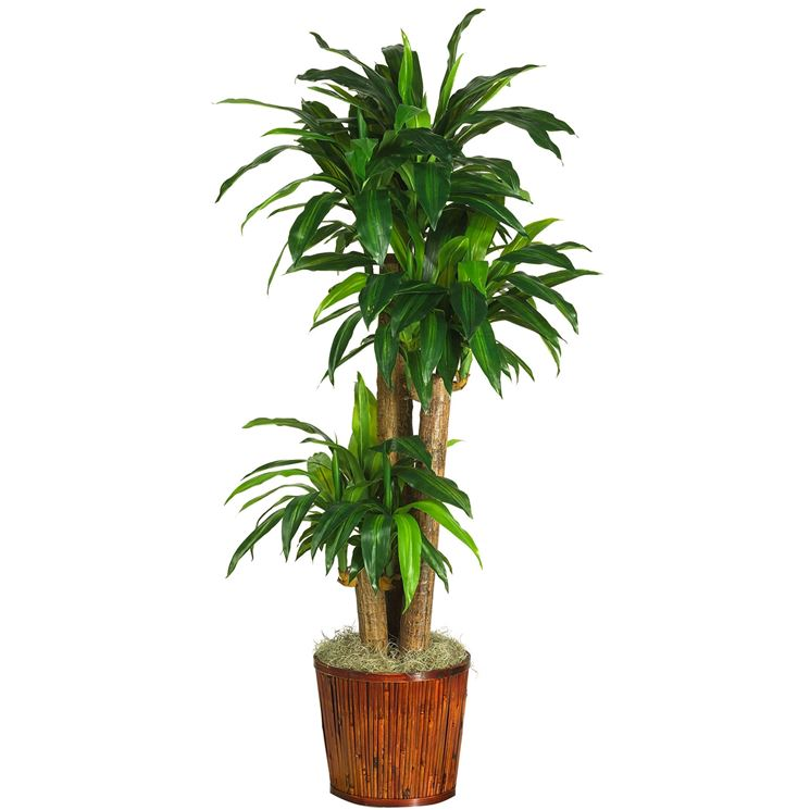 Un esempio di pianta di Dracena da appartamento tenuta in un vaso