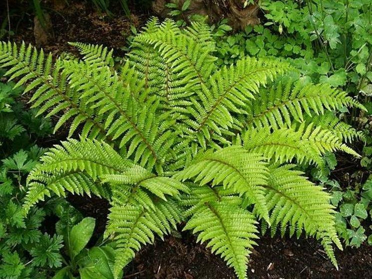 Felce piante appartamento come coltivare la felce - La felce pianta ...