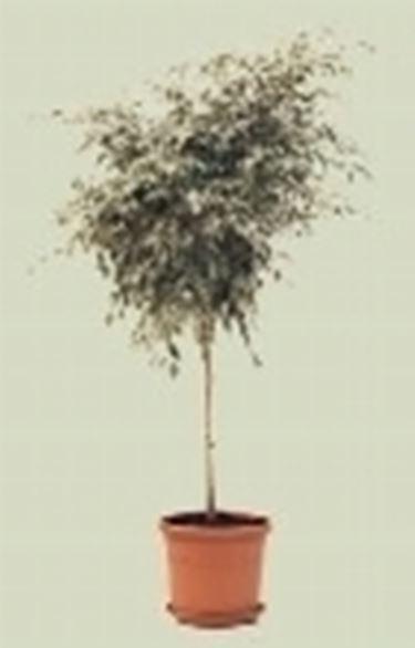pianta ficus benjamino