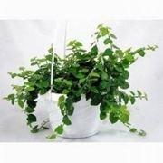pianta ficus