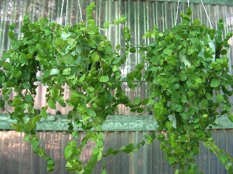 Ficus repens - piante appartamento - Caratteristiche ficus repens