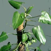 Un esempio di filodendro