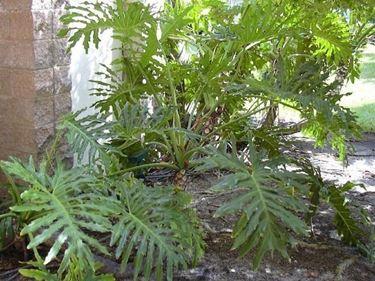 Un filodendro ben coltivato