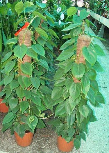 Due piante di filodendro