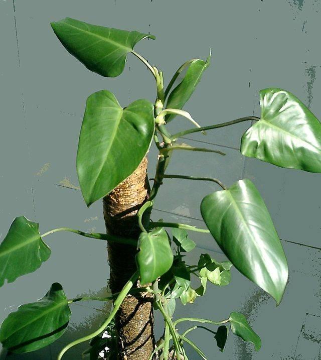 Filodendro piante appartamento come curare il filodendro for Piante appartamento buio