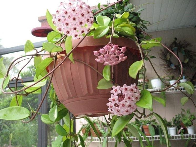Pianta di fiori di cera