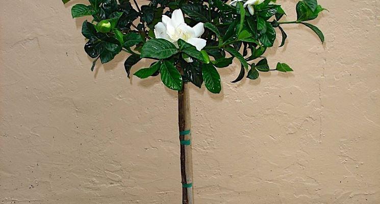 Gardenia alta