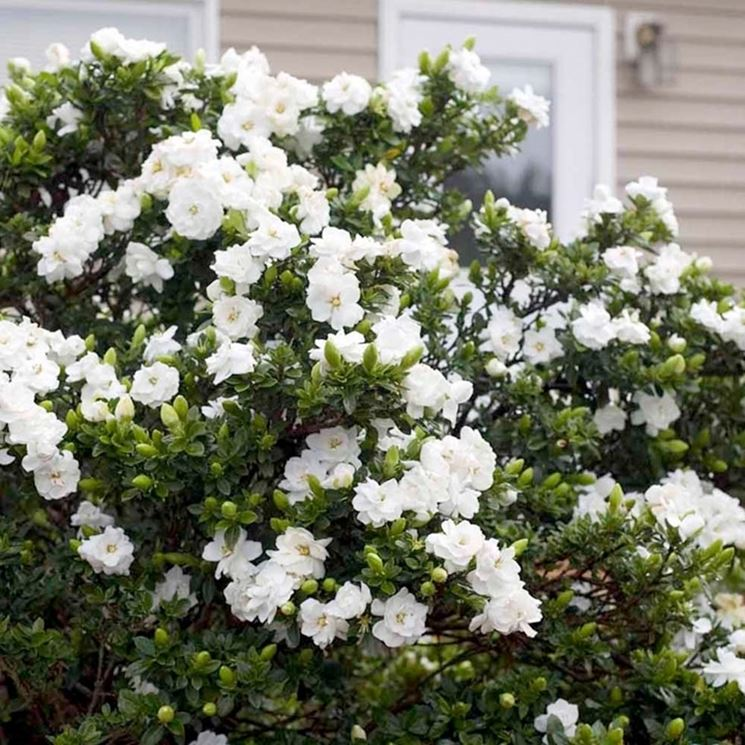 pianta di Gardenia