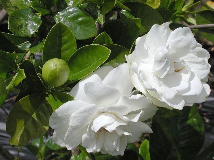 cura gardenia