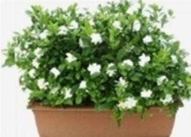 Un esempio di pianta di Gardenia da appartamento tenuta in un vaso