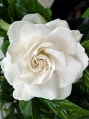 Un esempio di fiore che troviamo sulle piante di Gardenia.