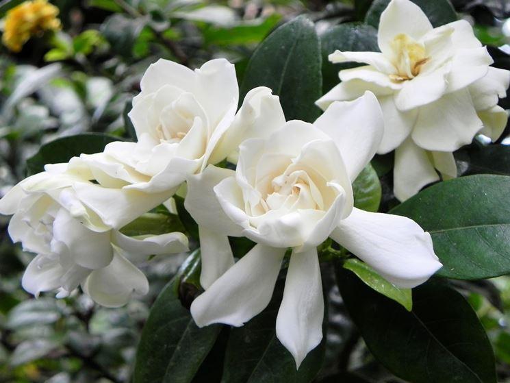 Fiori Bianchi Profumati.Gardenia Piante Appartamento Coltivare Gardenia Fiori Gardenia