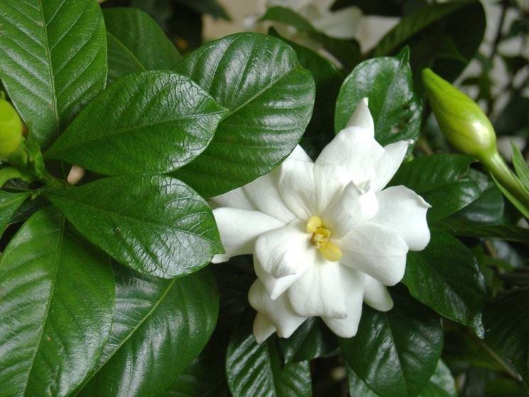 gardenia vaso