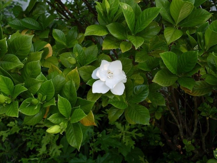 gardenia boccioli