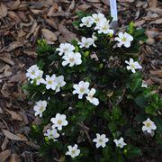 gardenia cura