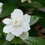 gardenia giardinaggio