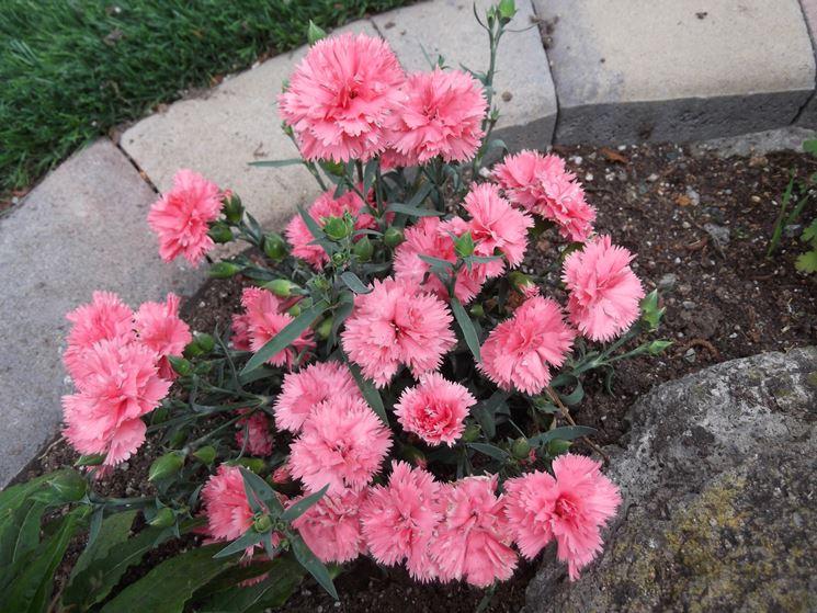 Garofano fiore