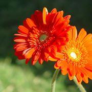 gerbere fiori