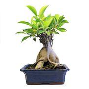 pianta ginseng