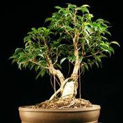 ginseng pianta