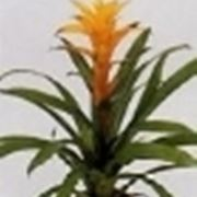 guzmania pianta