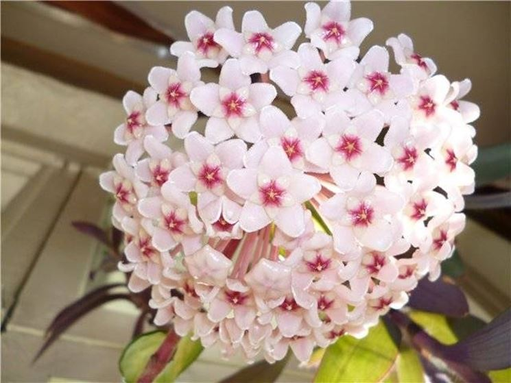 una perfetta fioritura geometrica dell'Hoya carnosa
