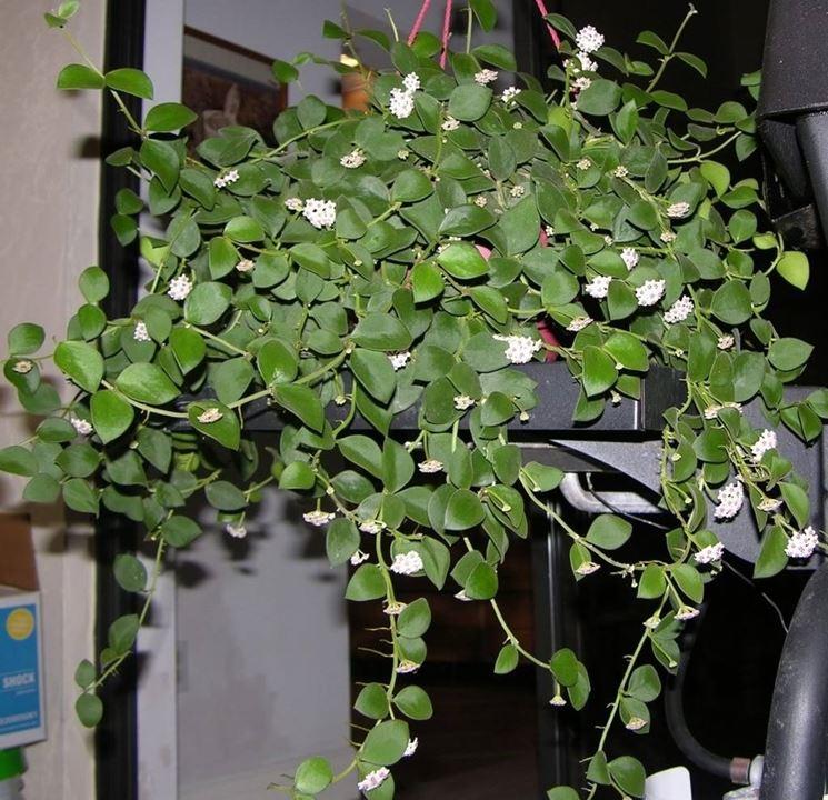 Hoya carnosa piante appartamento conoscere la hoya carnosa for Pianta di cera