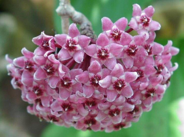 fioritura vellutata per questa pianta