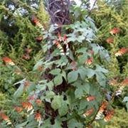Un esempio di pianta di Ipomea da appartamento tenuta in un vaso