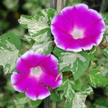Un esempio di fiore che troviamo sulle piante di Ipomea.