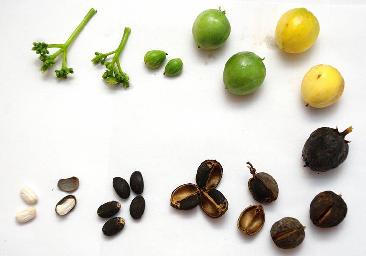 Frutti della Jatropha.
