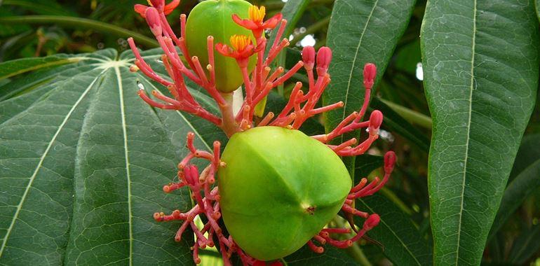 <h6>Jatropha</h6>Caratteristiche e curiosit� su questa pianta, scopri con noi la Jatropha