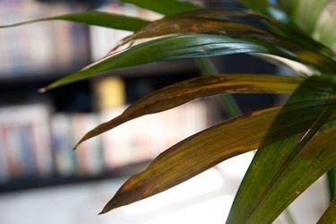 Kentia: particolare delle foglie ingiallite
