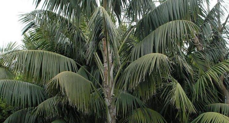 Una Kentia (Howea Forsteriana)